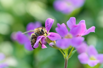 Honeybee on purple flower.