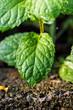 a fresh Mint leaf on background-closeup
