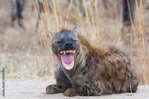 Plexiglas Hyena Smiling Hyena