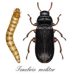 tenebrio molitor, mealworm