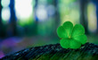 Shamrock in forest - 80674728