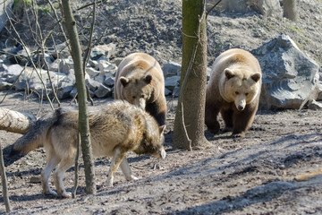 Gray wolf (Canis lupus) and brown bear (Ursus arctos)