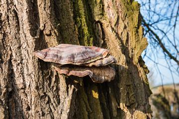 Bracket fungus on a tree bark from close