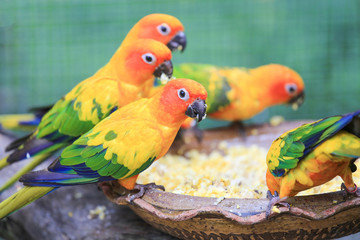 Colorful parrots eating seeds and corn.