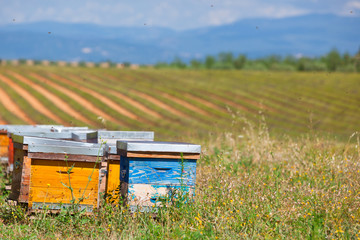 Beehives on the lavender field in Provence, France
