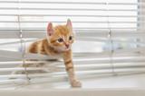 Ginger kitten tangled in window blinds - 80677585