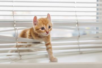 Ginger kitten tangled in window blinds