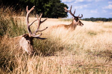 Two lying deers in a grass having rest in summer