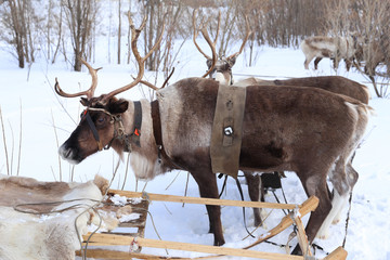 Reindeer with horns in a team