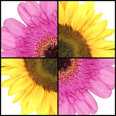 Square collage of Sunflower and Gerbera