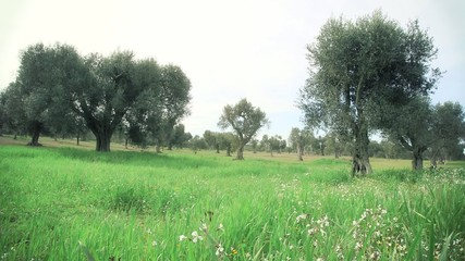 Campo di ulivi
