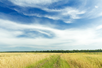White cirrus clouds on azure sky above rye field and dirt road