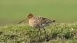 Godwit foraging on grassland