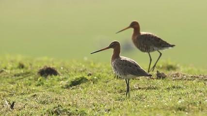 Two Godwits walking grassland