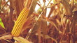 Ripe Corn Ear in Agricultural Cultivated Field in Harvest Season