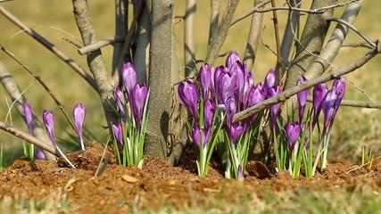 Beautiful violet crocuses in springtime
