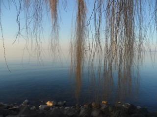 weeping willow trees with blue sky and blue water, bodensee