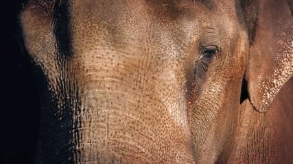Elephant Face Closeup