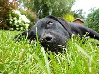 Labrador auf Wiese