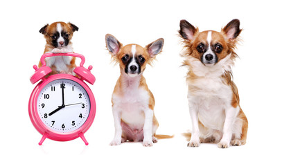 chihuahua puppy sitting on alarm-clock