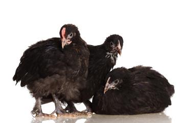 Chickens Maran