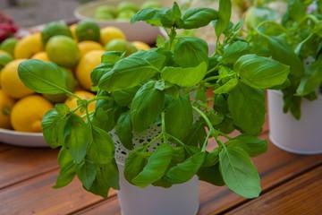 ecological organic basil herbs