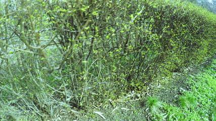 Trimmed bushes
