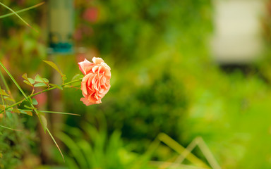 beautiful blooming orange rose flower