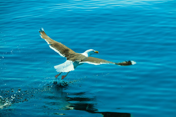 seagul seaside bird flying above blue sky