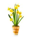 Daffodil spring flowers