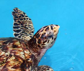Hawksbill Turtle in artificial tank in Arembepe, Bahia