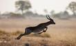 Antelope running across the savannah in Botswana. Jump.