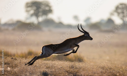 In de dag Antilope Antelope running across the savannah in Botswana. Jump.