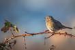 Dunnock singing bird