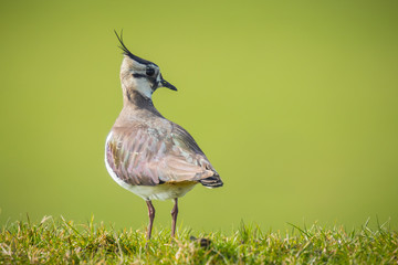 Northern lapwing in grass