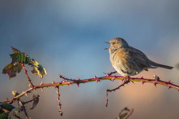 Dunnock singing bird