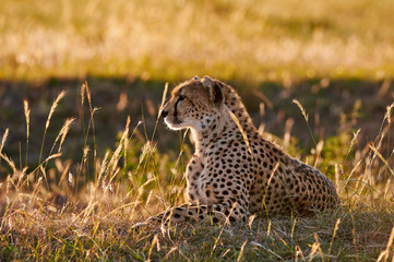 Female cheetah lying in the grass