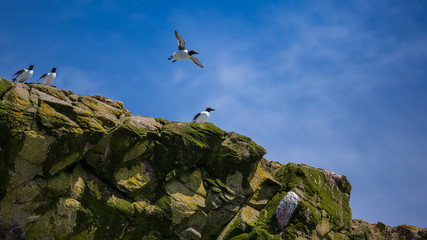 Groups of Common Murre on rocks