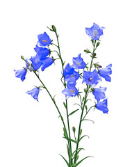 Several blue bellflower flowers isolated