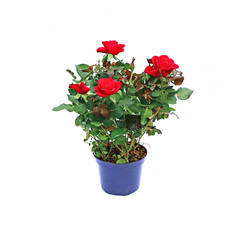 Blooming tea rose bush in a garden pot isolated