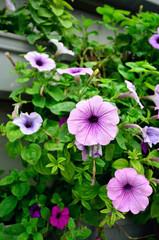 Morning Glory in Lavender Garden Genting Highlands