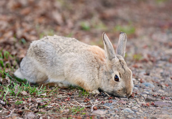 Wild Rabbit Eating
