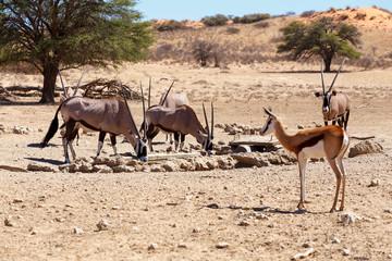 Oryx gazella and springbok on waterhole, focus to oryx
