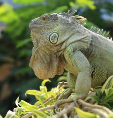 iguane vert arboricole perché