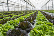 Lettuce crops in greenhouse - 80715506