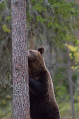 Brown bear standing against a tree