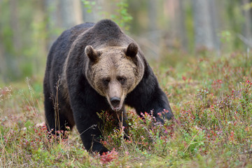 Big male brown bear in the forest