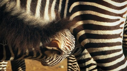 Young Zebra Feeding From Mother