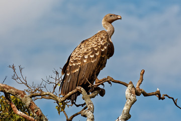 A Ruppel's (Ruppels) Griffon Vulture on tall tree in Masai Mara