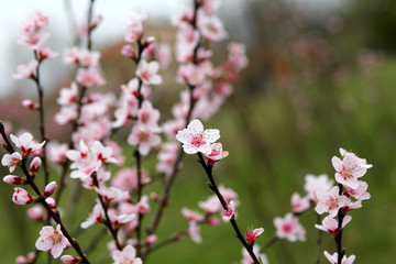 little pink flowers of the peach tree